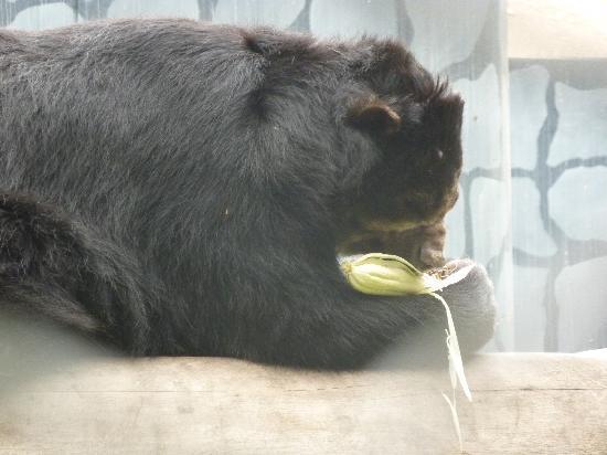 Parque de las Leyendas (Zoo): el oso negro comiendo mazorcas! So cute
