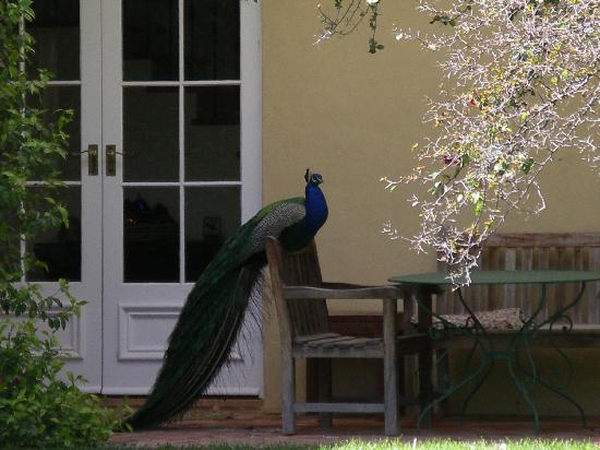 Al-Ru Farm: Al Ru Farm's Peacock
