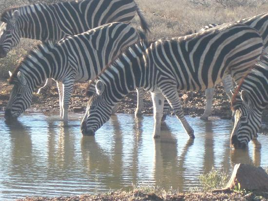 Blaauwbosch Private Game Reserve: zebras