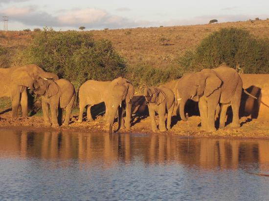 Blaauwbosch Private Game Reserve: elephants at sunset