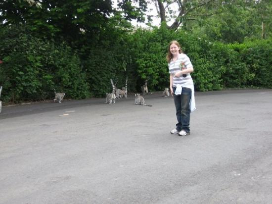 Newtownabbey, UK: The Lemurs run wild at the belfast Zoo!