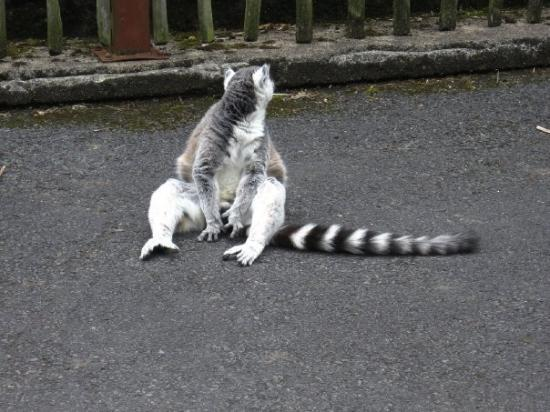 Newtownabbey, UK: Lemurs at the Belfast zoo