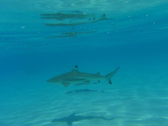 Moorea Pearl Resort & Spa: sharks on motu picnic