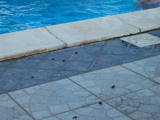 Sellia Marina, Italia: scarafaggi in piscina