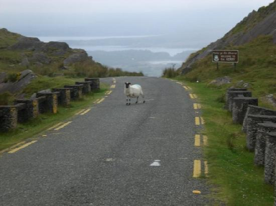 Adrigole, Ierland: A sheep at the top of Healy Pass