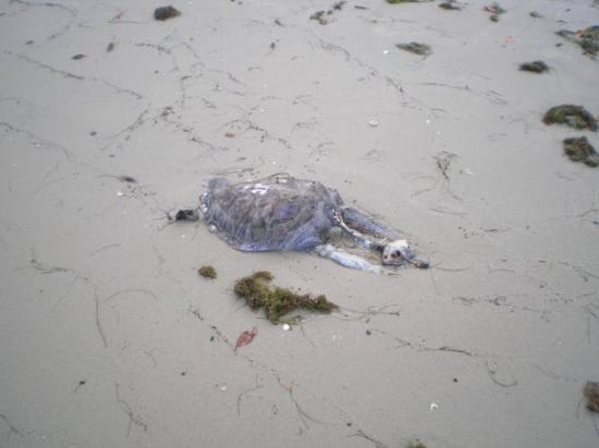 Ilha de Itamaraca, PE: tartaruga che ha fatto una brutta fine