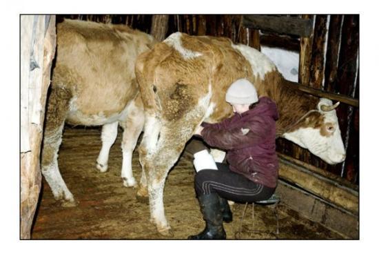 Yakutsk, Rusland: Vera trait la vache