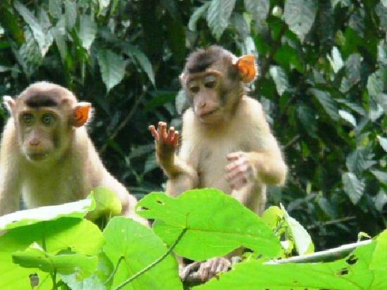 Sabah, Malaysia: baby macaque