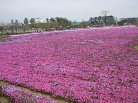 Gujo, Japan: 芝桜