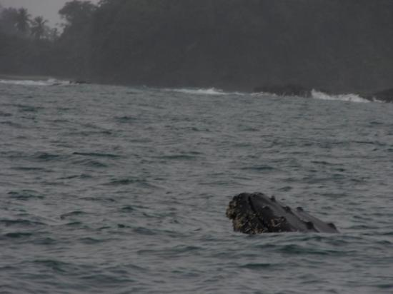 Planet Dolphin Cruises: Humpback Whale