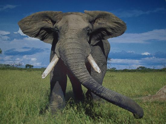 Ol Mesera Tented Camp: Elephant
