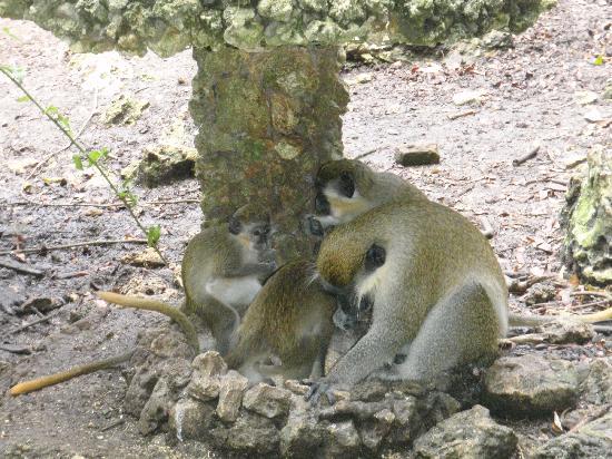 Barbados Wildlife Reserve: Green Monkey family