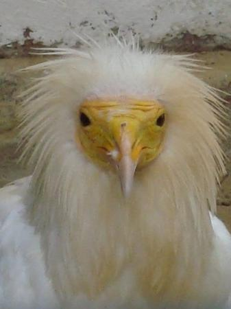 Pinotage - an Egyptian Vulture at the International Centre for Birds of Prey, Newent.