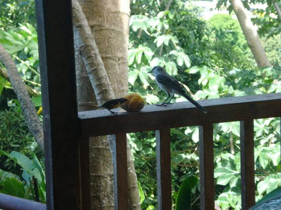 Castara Retreats: Birds at Hummingbird 1
