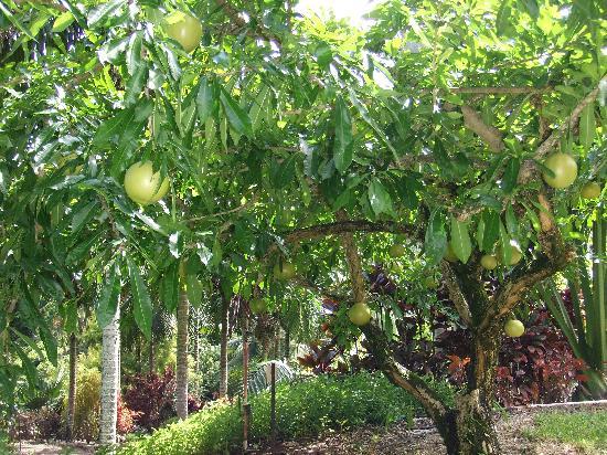 Tropical Gardens of Maui: gourd tree