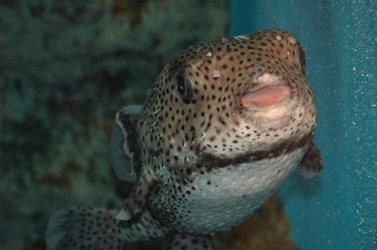 Otaru  Aquarium: Blowfish