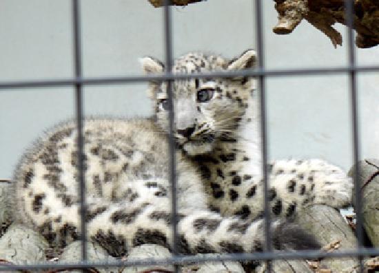 Maruyama Zoo: ユキヒョウのユッコ