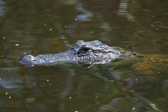 Everglades City, Floryda: Close encounters from an Air Boat