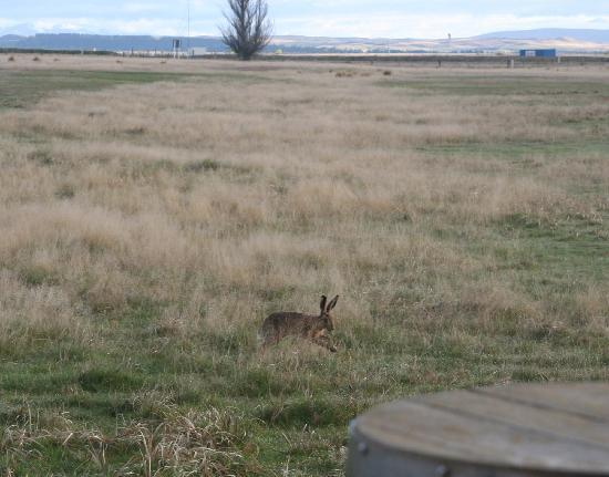 Twizel, New Zealand: a hare running across in front of our room in the morning