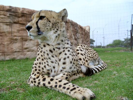 Wetevrede Lion Farm: They now have three cheetahs i believe