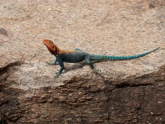 Nairobi, Kenia: reptile