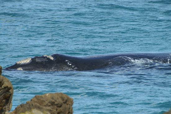 Ama-Krokka: Southern Right Whale
