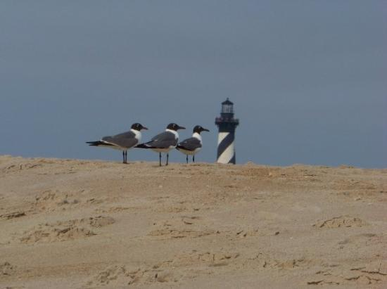 Cape Hatteras Lighthouse: seagulls at Cape Hatteras