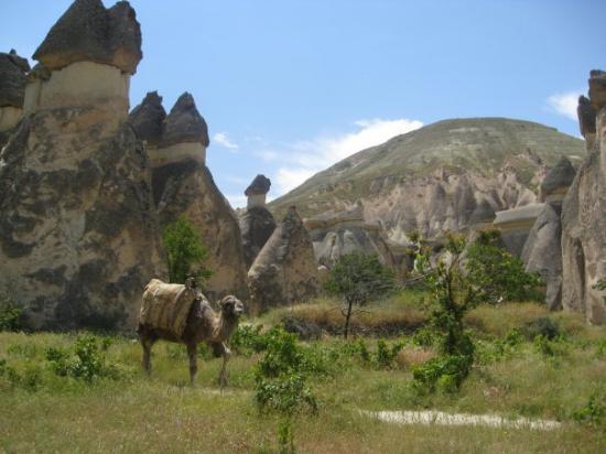 Urgup, Turquie : camel!