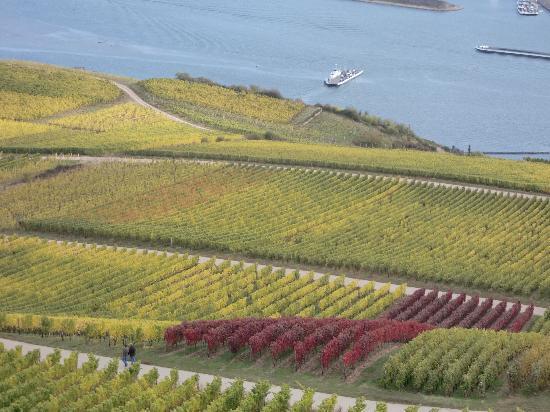 Ruedesheim am Rhein, Alemania: 一面に広がるブドウ畑