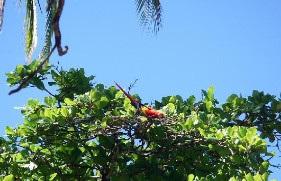 La Paloma Lodge: Scarlet Macaw in almond tree on the beach.
