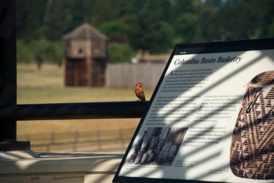 Fort Vancouver National Historic Site : Purple finch
