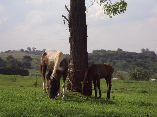 Jacarezinho, PR: one of the mother mares and her foal