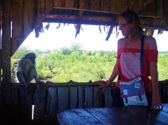 sharing meals with monkeys at lamin lodge