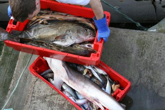 Ballycotton - Cod are landed in the harbour