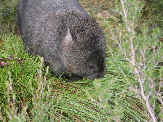 Peppers Cradle Mountain Lodge: Wombat right near lodge