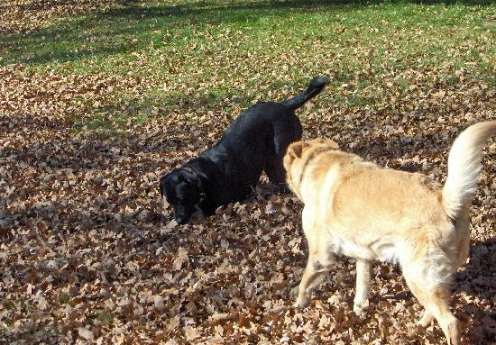 Country Sunshine Bed and Breakfast : Dogs playing in the fall leaves.