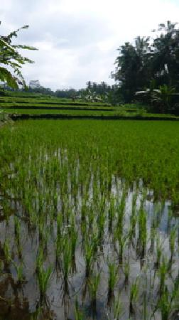 Villa Awang Awang: Rice paddy walk