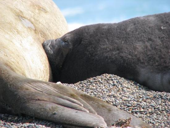 Puerto Piramides, Argentina: Elephant Seals, Punta Norte, Peninsula Valdez, Chubet, Patagonia, Argentina
