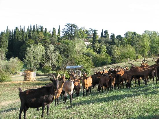 La Limonaia: Goats at the cheese tasting