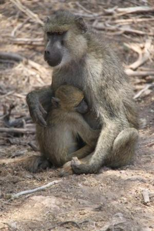 Amboseli Eco-system, Quênia: Baboon