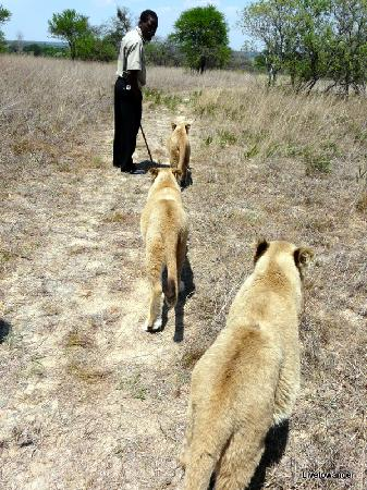 Antelope Park: Walking with the lions