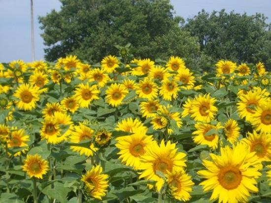 Condom, Frankrike: sunflowers everywhere!