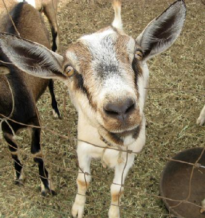 Surfing Goat Dairy: How cute is this goat???