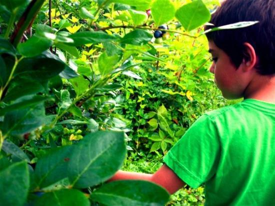 New Buffalo, MI : Blueberry picking in Michigan City