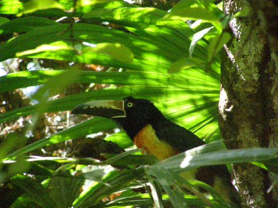 The Belize Zoo: Beautiful Toucan, Belize's national bird