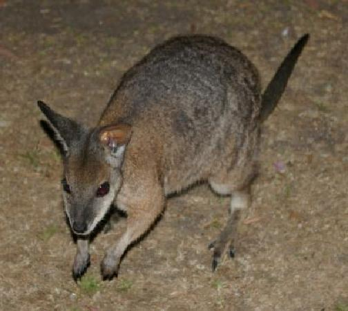 Casuarina Coastal Units: Wallaby