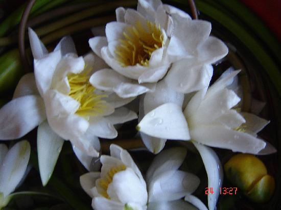Danube Delta: water lily