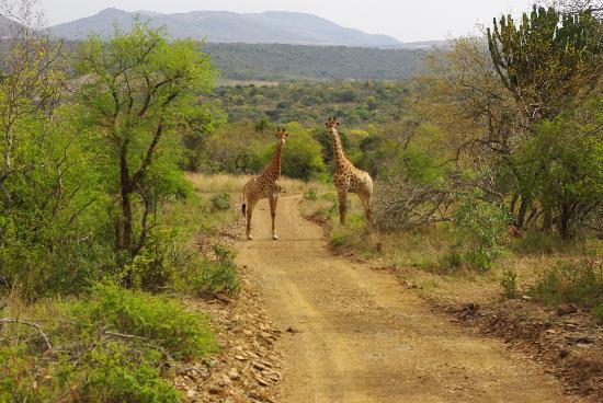 Amakhosi Safari Lodge: girafas