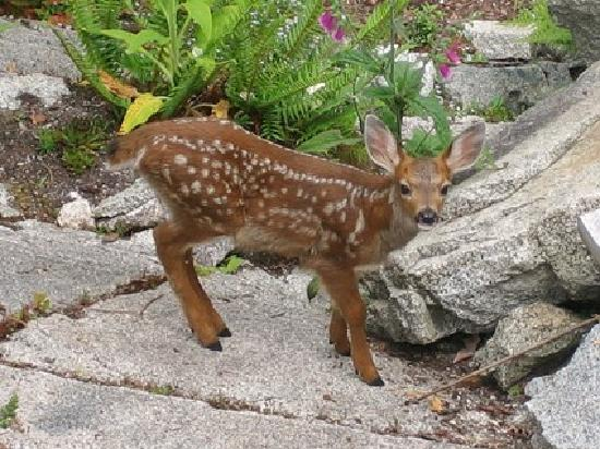 Seastone at Sandy Hook: Young Fawn in the Garden