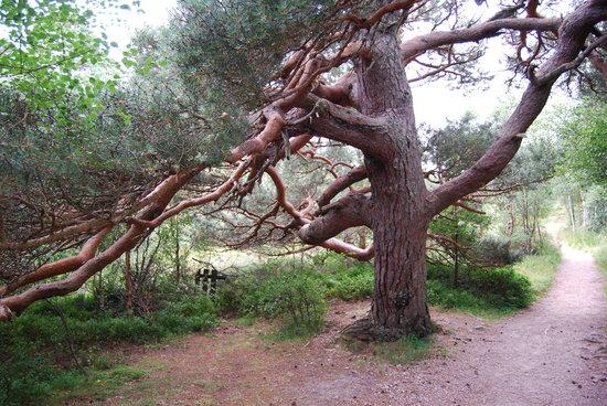 Cairngorm Reindeer Herd: Cool tree on path